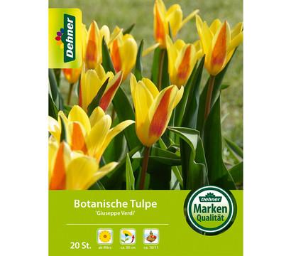 Dehner Blumenzwiebel Botanische Tulpe 'Giuseppe Verdi'