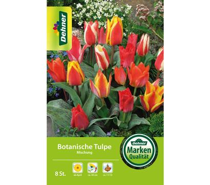 Dehner Blumenzwiebel Botanische Tulpe Mischung