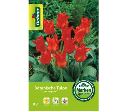Dehner Blumenzwiebel Botanische Tulpe 'Rotkäppchen'