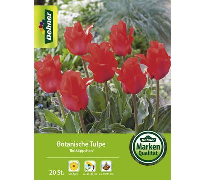 Dehner Blumenzwiebel Botanische Tulpe 'T. greigii Rotkäppchen'