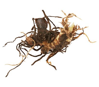 dehner blumenzwiebel canna indisches blumenrohr 39 verdi 39 dehner garten center. Black Bedroom Furniture Sets. Home Design Ideas