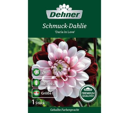 Dehner Blumenzwiebel Dahlie 'Daria in Love'