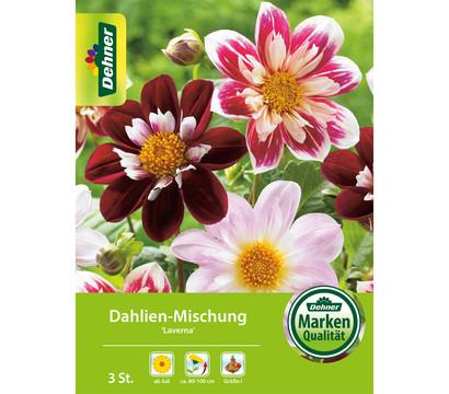 Dehner Blumenzwiebel Dahlien-Mischung 'Laverna'