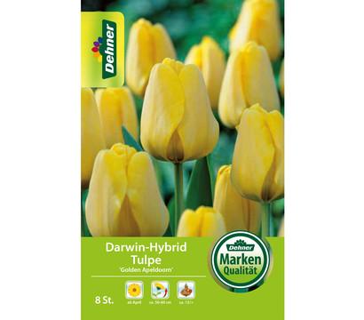 Dehner Blumenzwiebel Darwin-Hybrid Tulpe 'Golden Apeldoorn'