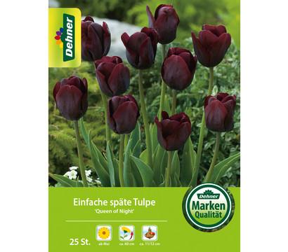 Dehner Blumenzwiebel Einfache späte Tulpe 'Queen of Night'