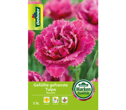 Dehner Blumenzwiebel Gefüllte gefranste Tulpe 'Mascotte'