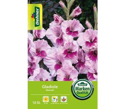 Dehner Blumenzwiebel Gladiole 'Alannah'