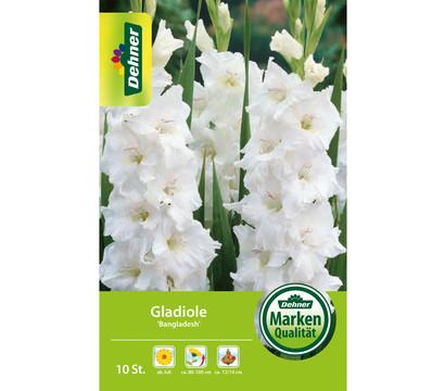Dehner Blumenzwiebel Gladiole 'Bangladesh'