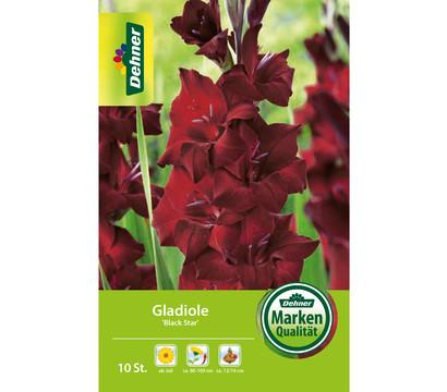 Dehner Blumenzwiebel Gladiole 'Black Star'
