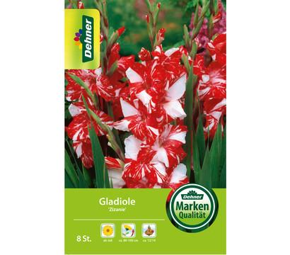 Dehner Blumenzwiebel Gladiole 'Zizanie'