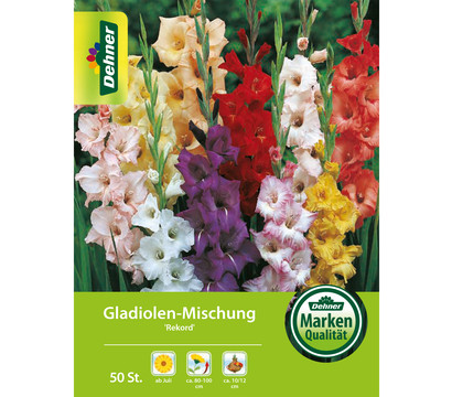 Dehner Blumenzwiebel Gladiolen-Mischung 'Rekord'