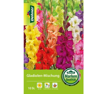 Dehner Blumenzwiebel Gladiolen-Mischung