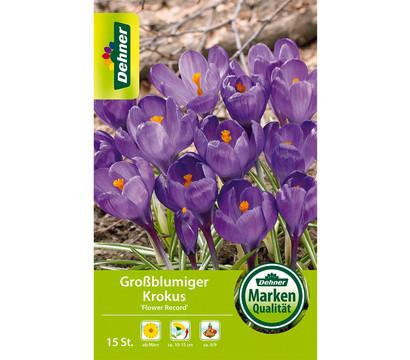 Dehner Blumenzwiebel Großblumiger Krokus 'Flower Record'