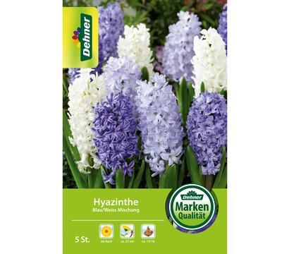Dehner Blumenzwiebel Hyazinthe Blau/Weiß Mischung