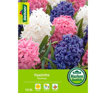 Dehner Blumenzwiebel Hyazinthe Mischung