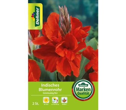 Dehner Blumenzwiebel Indisches Blumenrohr 'Grünlaubig Rot'