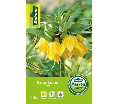 Dehner Blumenzwiebel Kaiserkrone 'Lutea'