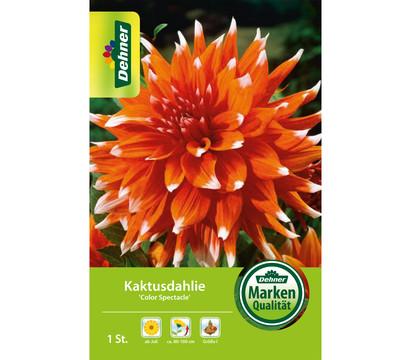 Dehner Blumenzwiebel Kaktusdahlie 'Color Spectacle'