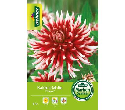 Dehner Blumenzwiebel Kaktusdahlie 'Friquolet'