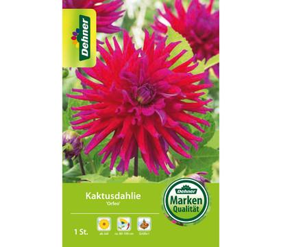 Dehner Blumenzwiebel Kaktusdahlie 'Orfeo'