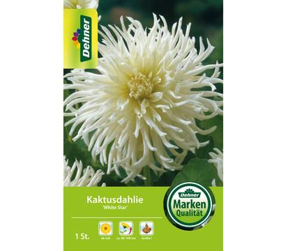 Dehner Blumenzwiebel Kaktusdahlie 'White Star'