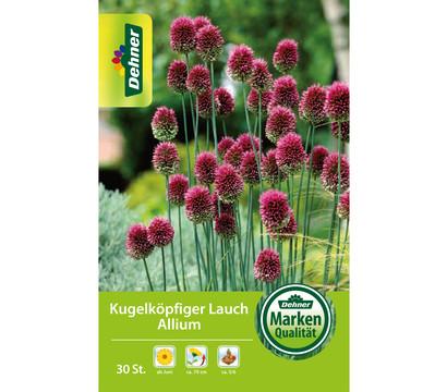 Dehner Blumenzwiebel Kugelköpfiger Lauch Allium