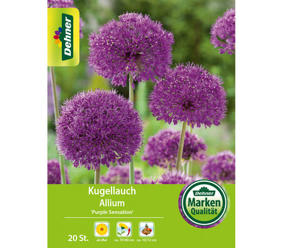 Dehner Blumenzwiebel Kugellauch Allium 'Purple Sensation'