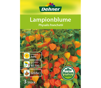 dehner blumenzwiebel lampionblume 39 physalis franchetii 39 dehner garten center. Black Bedroom Furniture Sets. Home Design Ideas
