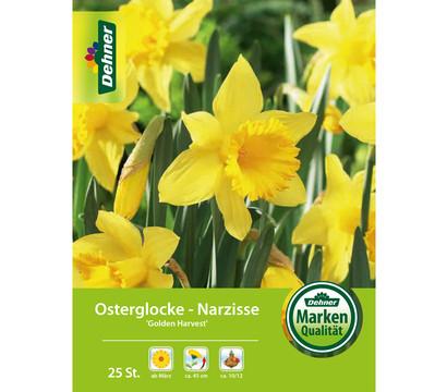 Dehner Blumenzwiebel Osterglocke- Narzisse 'Golden Harvest'