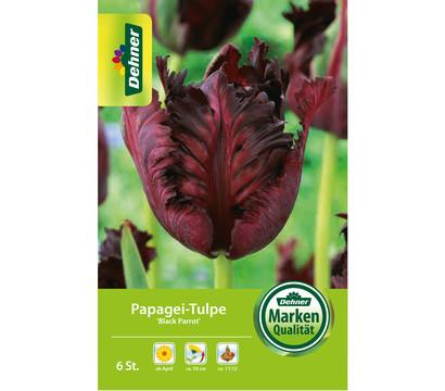 Dehner Blumenzwiebel Papagei-Tulpe 'Black Parrot'