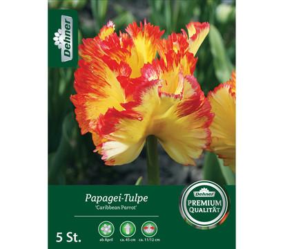 Dehner Blumenzwiebel Papagei-Tulpe 'Caribbean Parrot'