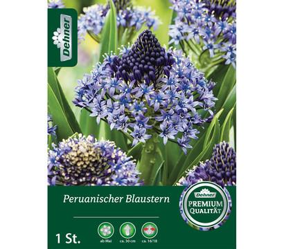 Dehner Blumenzwiebel Peruanischer Blaustern