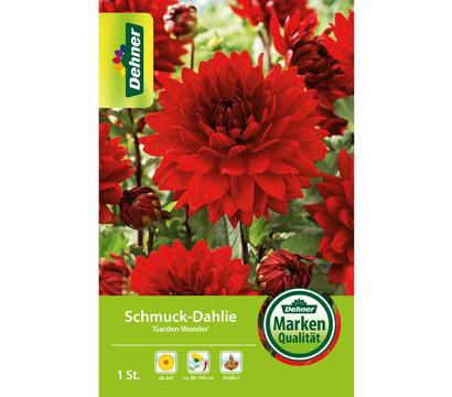Dehner Blumenzwiebel Schmuck-Dahlie 'Garden Wonder'