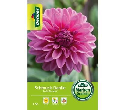 Dehner Blumenzwiebel Schmuck-Dahlie 'Lucky Number'