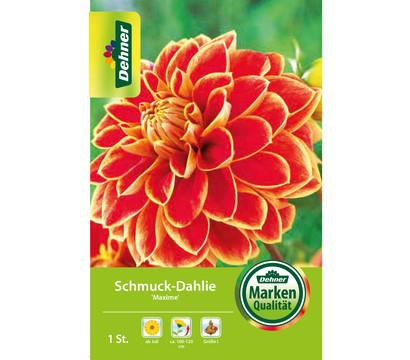 Dehner Blumenzwiebel Schmuck-Dahlie 'Maxime'