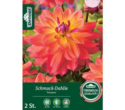 Dehner Blumenzwiebel Schmuck-Dahlie 'Tricolore'