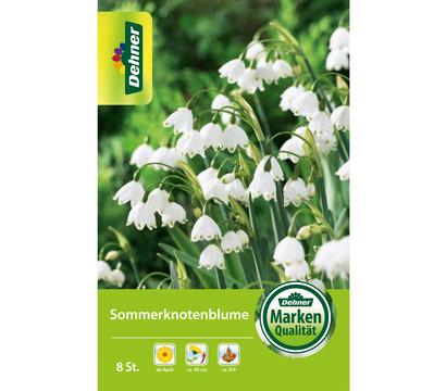 Dehner Blumenzwiebel Sommerknotenblume