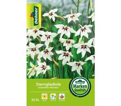Dehner Blumenzwiebel Sterngladiole 'Acidanthera Murielae'
