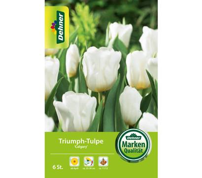 Dehner Blumenzwiebel Triumph-Tulpe 'Calgary'