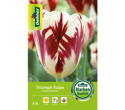 Dehner Blumenzwiebel Triumph-Tulpe 'Grand Perfection'