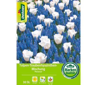 Dehner Blumenzwiebel Tulpen-Traubenhyazinthen-Mischung 'Florance'