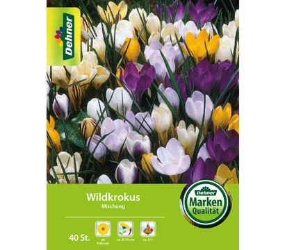 Dehner Blumenzwiebel Wildkrokus 'Botanischer Krokus Mischung'