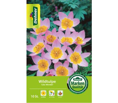 Dehner Blumenzwiebel Wildtulpe 'Lilac Wonder'