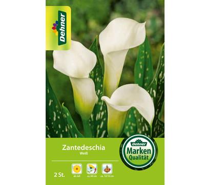 Dehner Blumenzwiebel Zantedeschia 'Weiß'