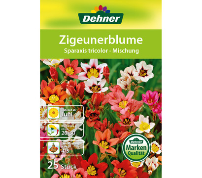 dehner blumenzwiebel zigeunerblume 39 sparaxis tricolor 39 dehner garten center. Black Bedroom Furniture Sets. Home Design Ideas