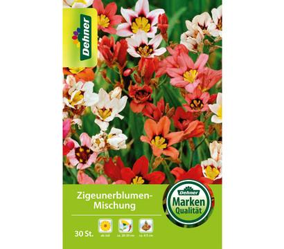 Dehner Blumenzwiebel Zigeunerblumen-Mischung