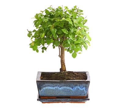 dehner bonsai falscher tee kugelform dehner garten center. Black Bedroom Furniture Sets. Home Design Ideas