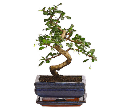 dehner bonsai in keramik sortenmix dehner garten center. Black Bedroom Furniture Sets. Home Design Ideas