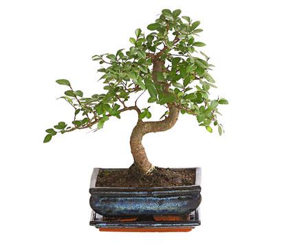Dehner bonsai japanische zelkove dehner garten center - Japanische zimmerpflanzen ...