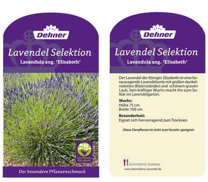 Dehner downderry lavendel 39 elizabeth 39 dehner garten center - Duftende gartenpflanze ...